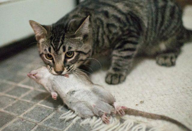 Кошка-крысоловка