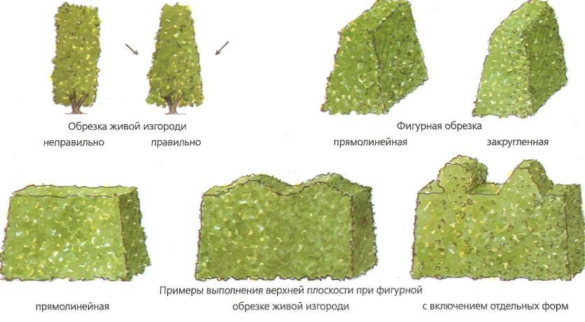 Примеры выполнения верхней плоскости при фигурной обрезке живой изгороди