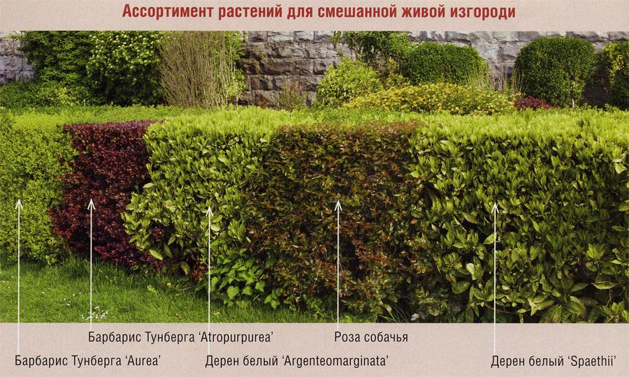 Растения для смешанной живой изгороди