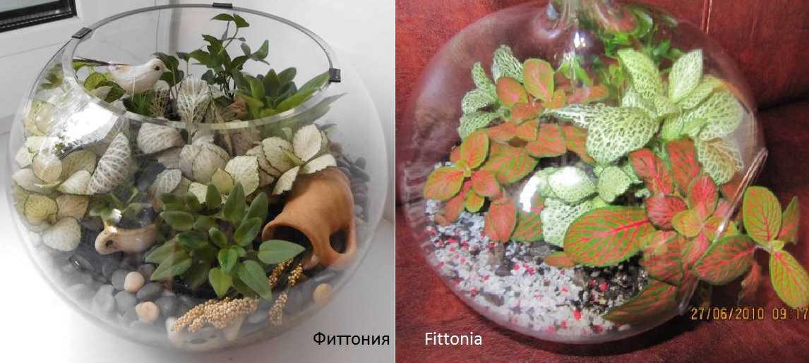 Одно из наиболее популярных растений для выращивания во флорариуме - фиттония