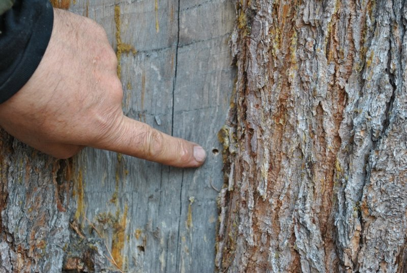Повреждённое дерево