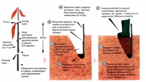 Способы размножения бирючины