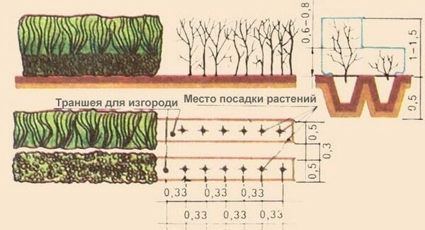Технология посадки боярыника