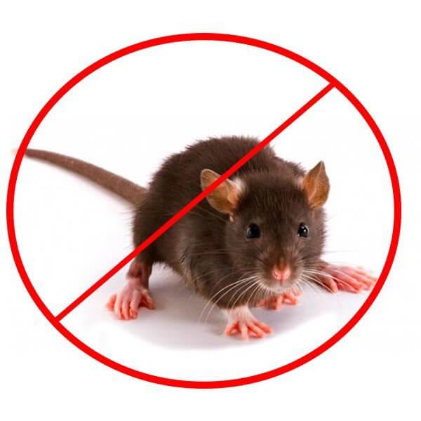 в курятнике крысы